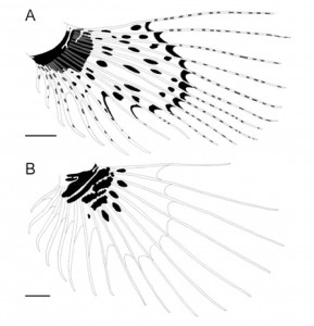ミズヒキミノカサゴ(A)とネッタイミノカサゴ(B)の胸鰭