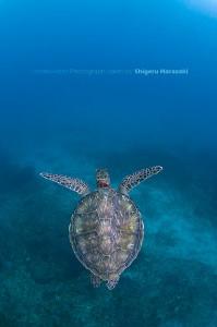 泳ぎ去るアオウミガメ