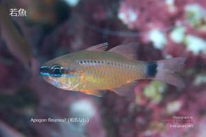 コンゴウテンジクダイ(新称)の若魚。