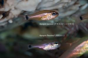 【幼魚の比較】 上:アオスジテンジクダイ 下:コンゴウテンジクダイ(新称)