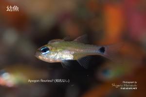 コンゴウテンジクダイ(新称)の幼魚。