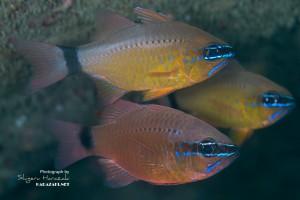 【成魚の比較】 上:アオスジテンジクダイ 下:コンゴウテンジクダイ(新称)